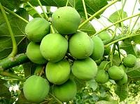 Jatropha curcas au kenya