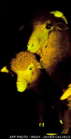 moutons phosphorescents, photo AFP Irauy - Javier Calvelo
