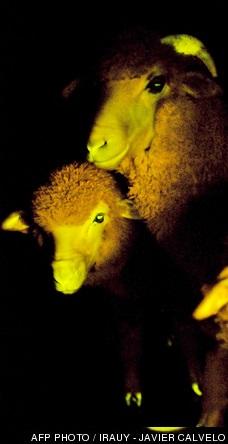 moutons phosphorescents, photo AFP Irauy - Javier Calvelo