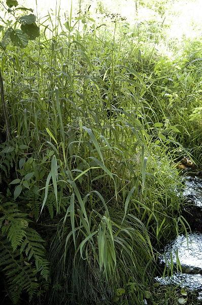 Plante Phalaris Arundinacea