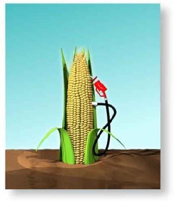 un mais OGM