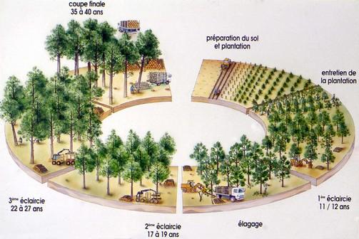 Sylviculture - pin des landes