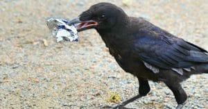 Un corbeau au travail au Puy du Fou