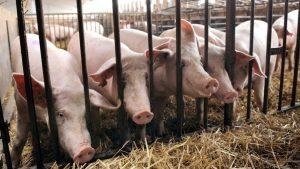 Elevage de cochons en Espagne