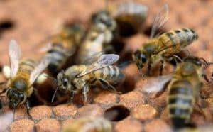 Néonicotinoïdes et abeilles