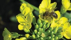 Protection des abeilles: les recommandations de l'Anses