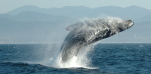 Baleines et réchauffement climatique