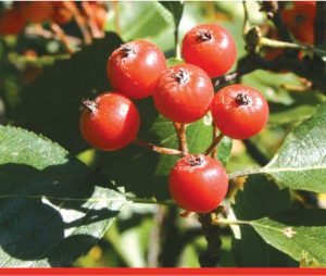 Liste rouge des espèces d'arbres menacées
